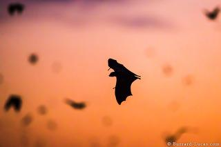 Kasanka Bats at Sunset