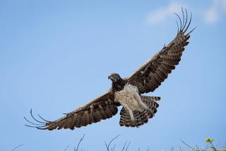 Martial Eagle Flying