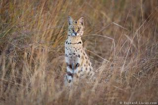 Proud Serval