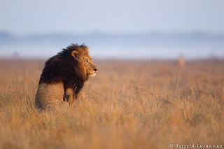 Sitting Male LIon